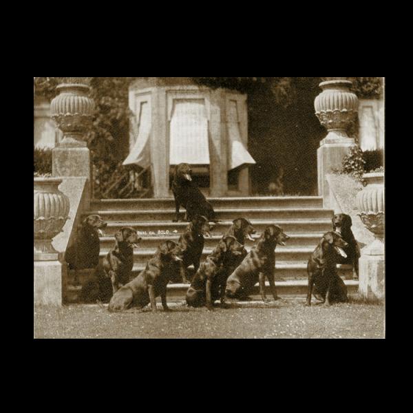 Reprint - Labrador Retriever, ca 1926, Dual DCH Banchory Bolo and some of his Progeny