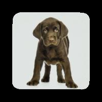 Untersetzer 6 Stück/Pack. Labrador Retriever