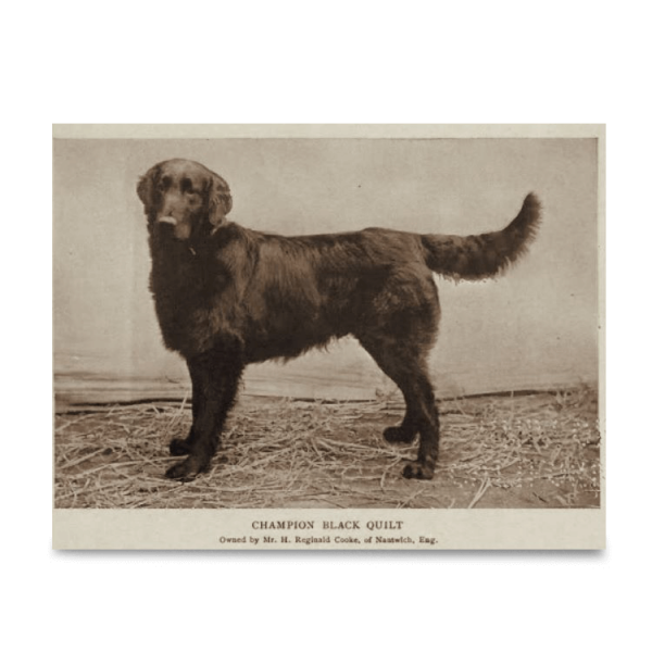 Reprint - Flat coated Retriever, Champion Black Quilt, born 18.07.1900