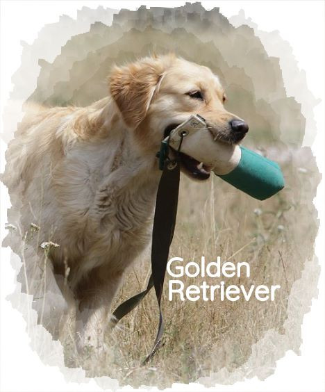 Spezial: Golden Retriever