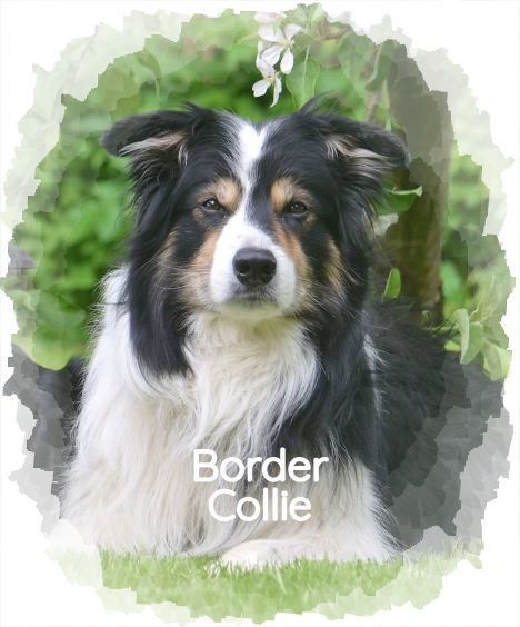 Spezial: Border Collie