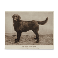 Reprint - Flat coated Retriever, Champion Black Quilt, born 18.07.1900